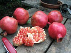 My experience with pomegranates