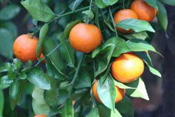 b_250_200_16777215_00_images_oranges.JPG