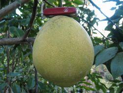 Origin of Panzarella Lemon and Panzarella Orange