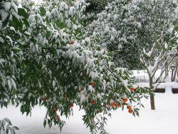 Citrus and Freezing Weather