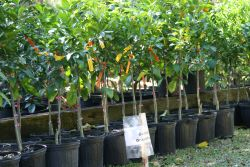 Growing citrus in a container
